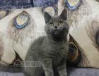 英短蓝猫 纯种 英短蓝白幼猫 英短蓝白活体宠物猫英