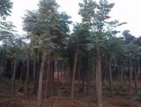 上海黄山栾树价格 12公分黄山栾树价格 虹硕苗圃