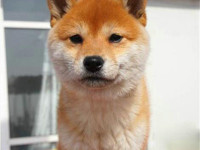 柴犬幼犬精品 双血 包活 带证书