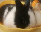 销售可爱宠物兔