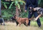 军 警犬马犬出售 广州猋王犬业