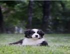 边境牧羊犬纯种包健康证书齐全签协议
