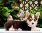 柯基是英国女王和现代女神的最爱 专业繁殖纯种柯基犬