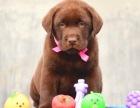 本地出售纯种拉布拉多幼犬出售 疫苗齐全 品相** 可送货