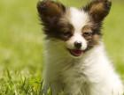 哪里有卖蝴蝶犬蝴蝶犬多少钱蝴蝶犬图片蝴蝶犬幼犬