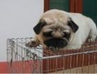 出售家养纯种巴哥宝宝品相好价格合理包健康可上门看狗
