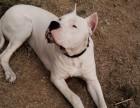 五个月的杜高犬低价出售 杜高犬价格