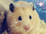家养仓鼠,金丝熊米熊白熊,长期出售,另有仓鼠用品长期出售