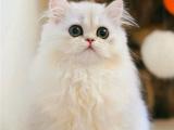 杭州双血统金吉拉幼猫纯种金吉拉包邮到家