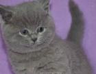 英短蓝猫幼猫纯种英短蓝白纯种幼猫英短宠物猫幼猫活体