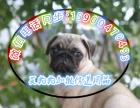 本地较大的巴哥犬专业繁殖基地 可上门挑选