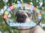 出售纯种巴哥幼犬 狗狗品相好 健康保证质量保证纯正