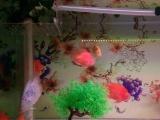 慢出个人养两个月的鹦鹉鱼