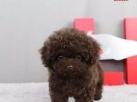上海泰迪犬 茶杯泰迪 迷你泰迪 玩具泰迪 泰迪犬舍 直销