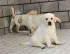 高品质拉布拉多幼犬血统好骨量大幼犬多只欢迎上门挑选