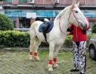 广州马匹出租,哪有真马活马租赁