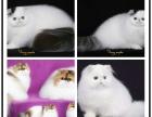 高品质波斯猫宝宝 可爱活泼 血统纯正 签协议三包
