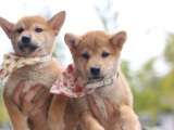 东莞 本地出售柴犬幼犬狗狗包健康纯种售后无忧