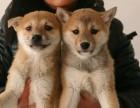 武汉高品质的柴犬出售了 疫苗做完 质量三包