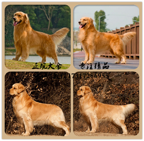 专业繁殖(金毛幼犬)可来基地挑选 签协议保健康