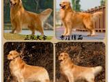英系美系(金毛犬) 赛级品质纯种保健康