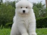 佛山市哪里买狗有保障 佛山哪里有卖纯种萨摩耶狗仔
