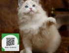 徐州哪里卖布偶猫便宜 徐州哪里卖布偶猫 徐州哪里买布偶猫