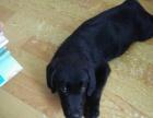自家养的拉布拉多黑色母狗