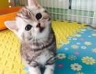 纯种英短猫猫,价格实惠,健康干净,长得好,可上门看实物