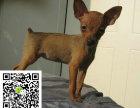 在哪里买纯种的小鹿幼犬 小鹿幼犬最低多少钱