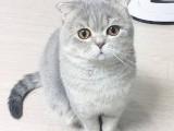 出售猫咪 波斯猫