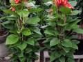 泉州花卉租摆万达公司租花绿植租赁花木出租