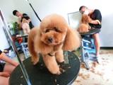 學寵物美容師培訓技術需要多少時間