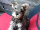 雪纳瑞犬纯种家养繁殖雪纳瑞犬出售精品家养活体宠物狗