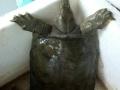 野生甲鱼出售