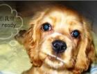 美卡幼犬纯种美国可卡犬幼犬可卡幼犬专卖血统优良有证