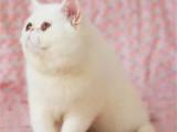 浙江温州包子脸大眼睛加菲猫出售
