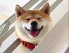 赛级柴犬犬舍的狗都是带证书