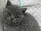四只英短小蓝猫找新家