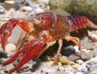 小龙虾养殖池中水草的种植与移植