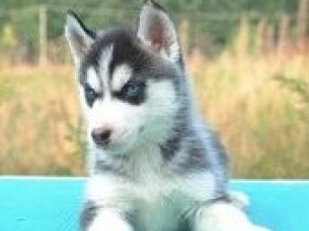 贵阳本地犬舍出售纯种哈士奇幼犬质保三年签署协议