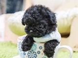 卖泰迪犬 泰迪 广州出售泰迪犬