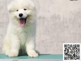 纯正健康萨摩耶犬出售-幼犬出售,当地可以上门挑选