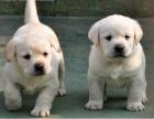 大头版大骨架家养拉布拉多幼犬 品相完美可上门挑选