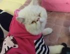 纯白加菲猫公低价转让