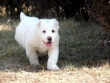 双血统中亚犬幼犬全国托