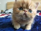 杭州猫舍包健康蓝猫美短加菲加菲猫上门看猫