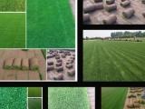 固安绿化草坪厂家 固安公园草坪价格固安草坪销售基地