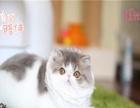 加菲猫公母均有 疫苗齐全 非常适合家养