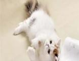 较大CFA认证猫舍自家繁殖纯种波斯猫 可上门 看父母